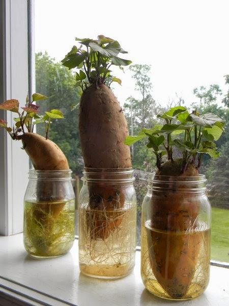 12 Sayuran Yang Bisa Anda Tumbuhkan Kembali Lagi Dan Lagi