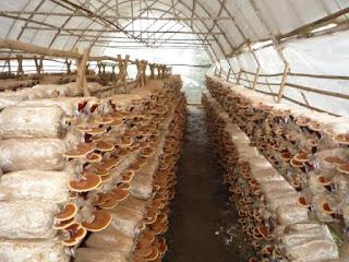 Tuyển 12 nữ trồng nấm tại Nhật Bản