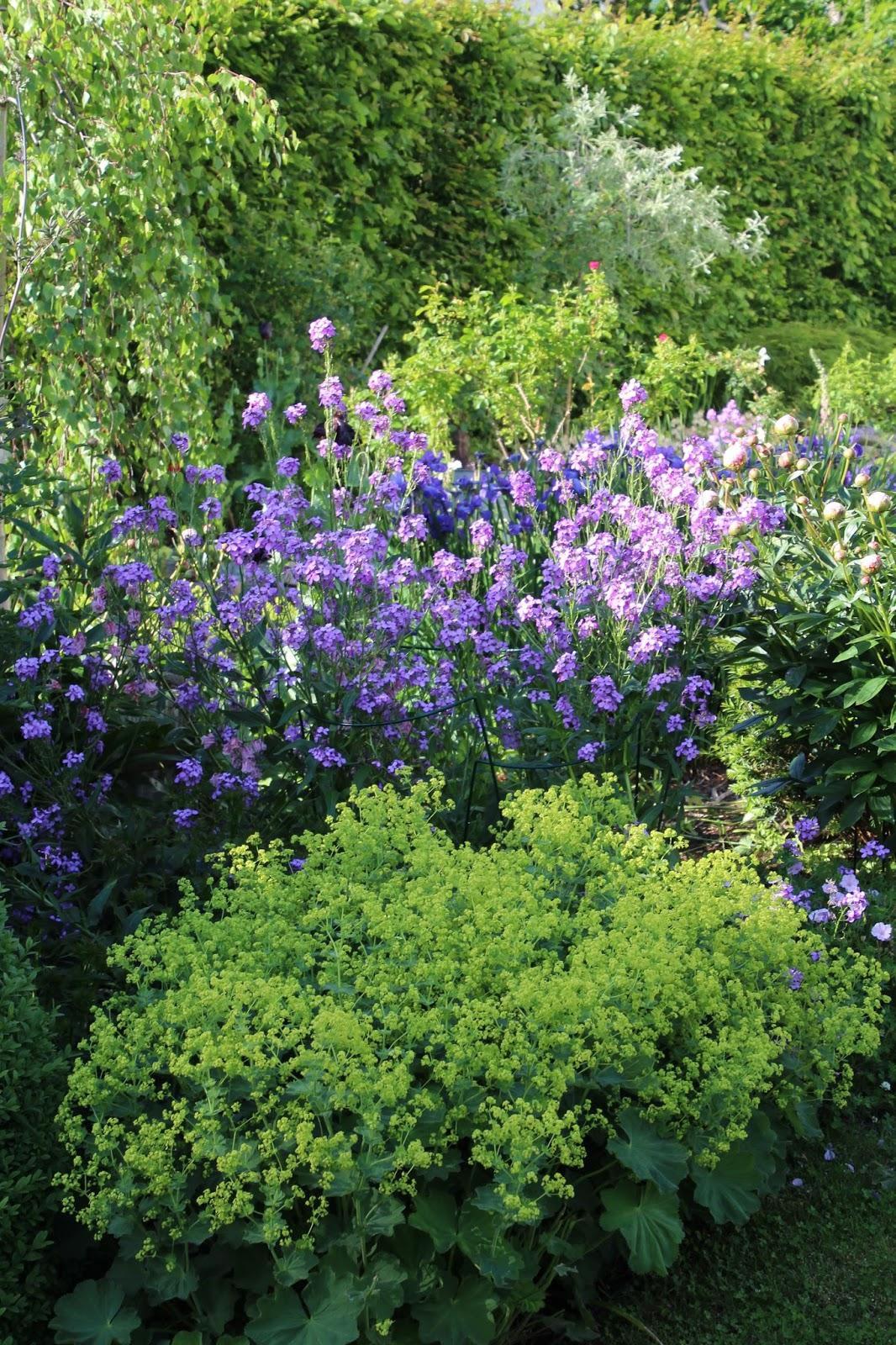Trädgårdsnattviol Hesperis matronalis bild