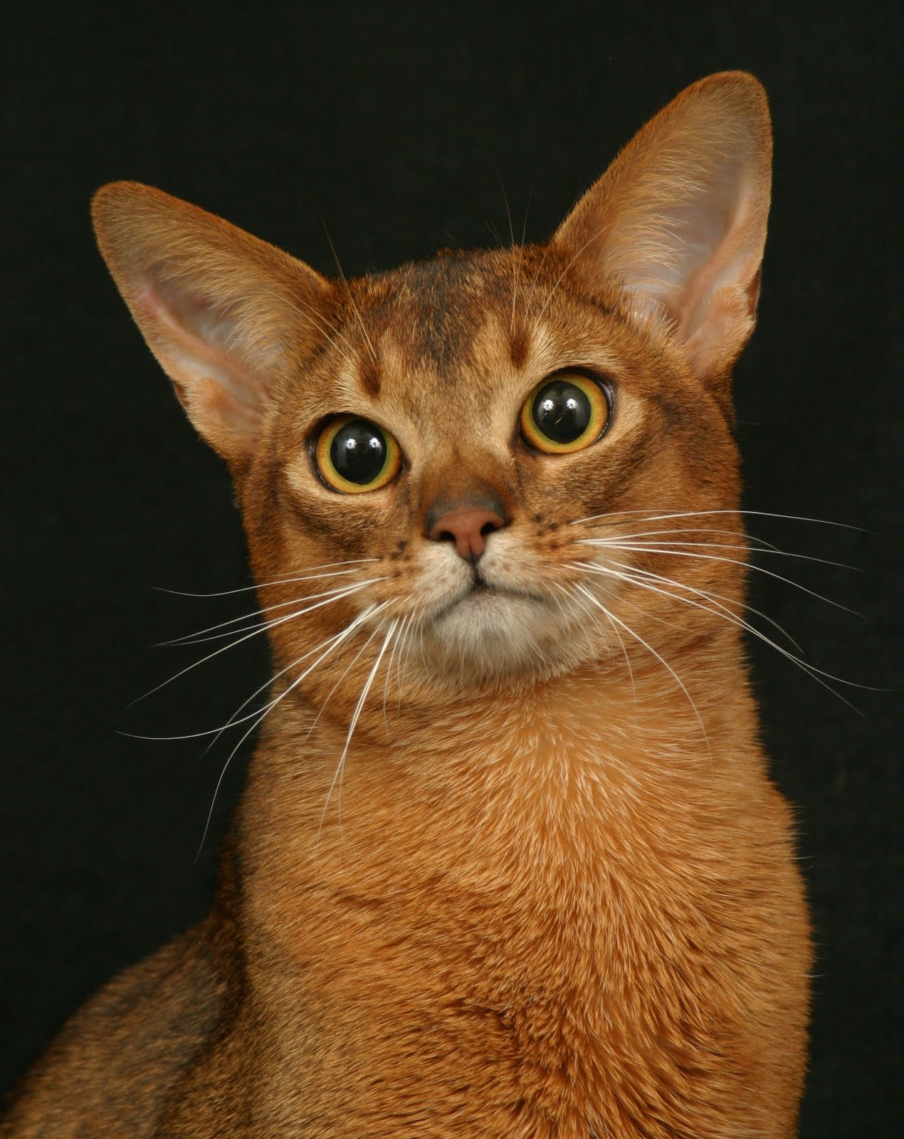 Encyclopedia Of Cats Breed Ruddy Abyssinian Cat Tawny