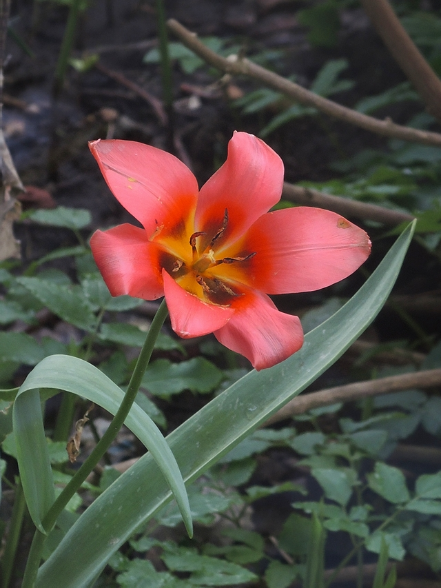 in mijn tuintje - zwelgende tulp