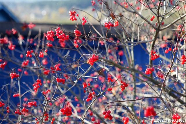 калина красная осенью