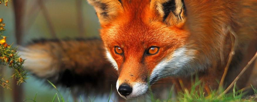 50 Ευρώ σε κάθε κυνηγό για θανατωμένη αλεπού δίνει η Περιφέρεια Κεντρικής Μακεδονίας