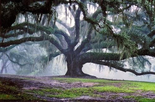 L 39 albero delle mele la quercia tra leggende e realt for Quercia sempreverde