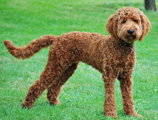 Labradoodle-short-coat-for-summer