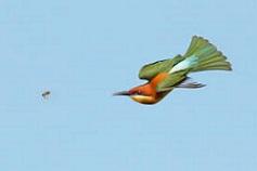 Chestnut headed bee eater - Birds of India - photo#40