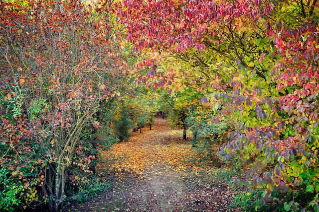 Pathway through the autumn hues in Hinchingbrooke Country Park