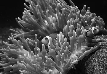 simbiosis ikan badut dengan anemon laut