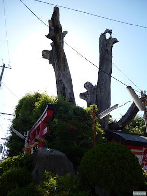 駒つなぎの樟