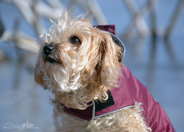 Ruby is bundled up and enjoys a walk in the winter sun