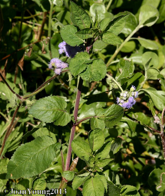 A Widespread Noxious Cool Season Annual: Natures World Of Wonder: Floss Flower (Ageratum Houstonianum
