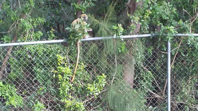 Dania Beach Vervet Monkey