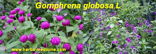 benefit Gomphrena globosa for Asthma