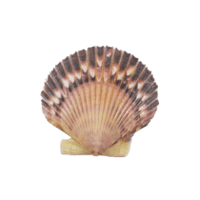 https://www.tienganhphuquoc.com/2018/06/scallop-loai-so-diep.html