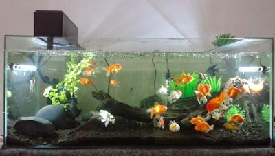 Cara merawat ikan di akuarium