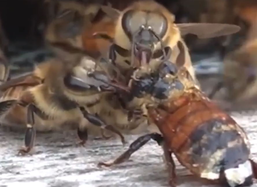Beekeeper Captures Powerful Moment When Bees Come Together To Save Their Friend's Life