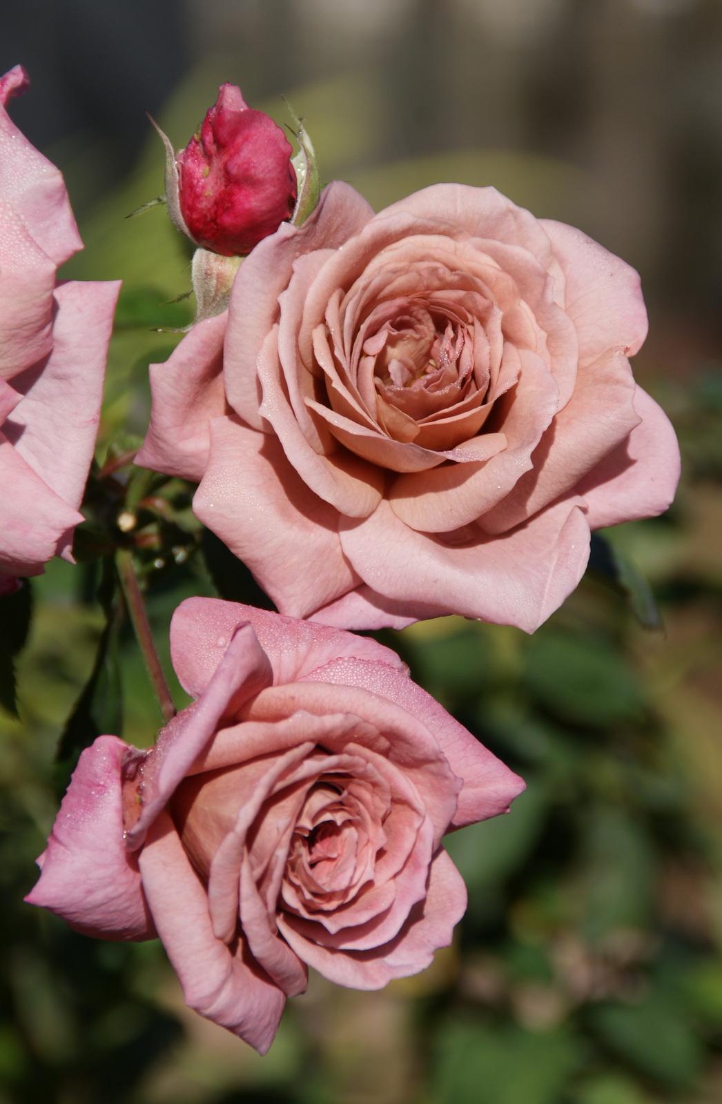 Roses In Garden: Organic Garden Dreams: November Roses