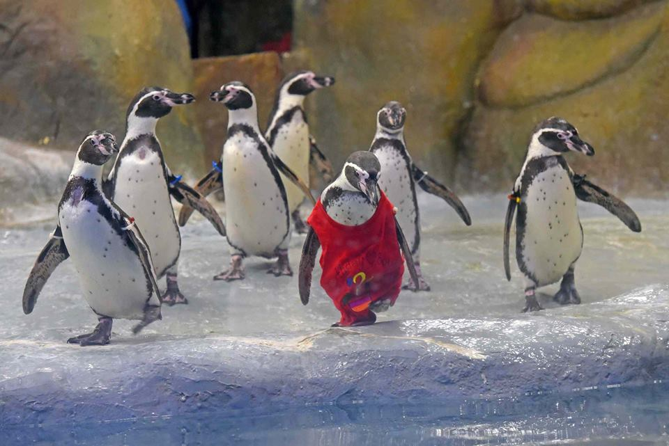 🐧Birthday suit! Penguin causes red alert in special outfit