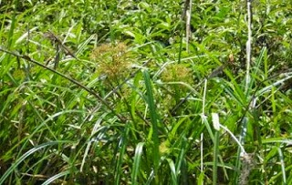 Teki ladang atau Cyperus rotundus