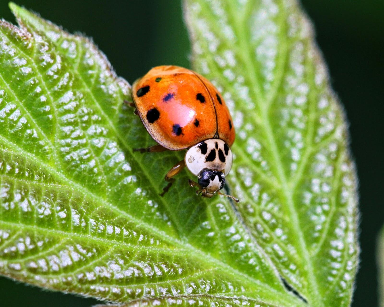 Thoughts And Things Ladybug Life Cycle
