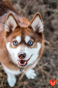 How to choose a dog trainer for your dog or puppy, like this red Alaskan Klee Kai with blue eyes. Look for a dog trainer with qualifications and who uses food to train dogs.