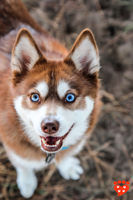 A red Alaskan Klee Kai with blue eyes