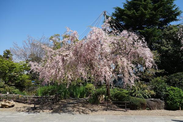 庭園の枝垂れ桜