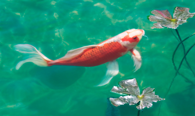 Los peces koi y su significado lost in deep dreams for Imagenes de peces chinos