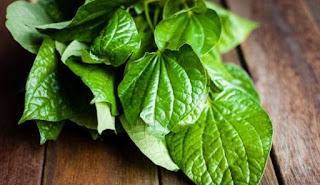 manfaat daun sirih untuk mata, daun sirih merah untuk mata minus, efek samping daun sirih untuk mata, manfaat daun sirih untuk mata katarak, cara membersihkan mata dengan daun sirih, manfaat daun sirih untuk mata rabun, manfaat mencuci mata dengan air daun sirih