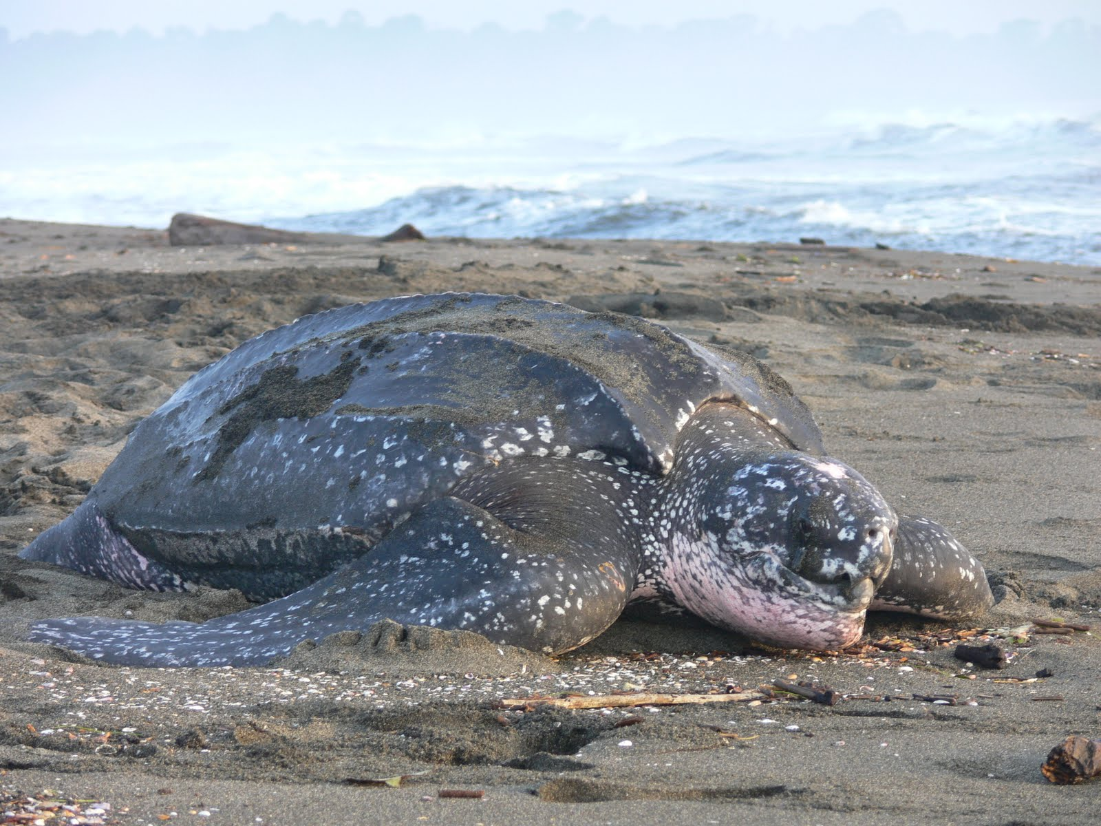 Leatherback sea turtle pictures in the water - photo#40