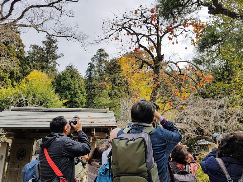 一群攝影者在拍樹上的柿子?覺得有趣的畫面