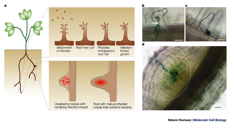 thesis on rhizobium Effects of inoculation with rhizobium and nitrogen fertilizer on snap beans  to two methods of inoculation with rhizobium masters thesis.