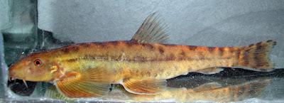 Selusur Maninjau (Homaloptera gymnogaster)
