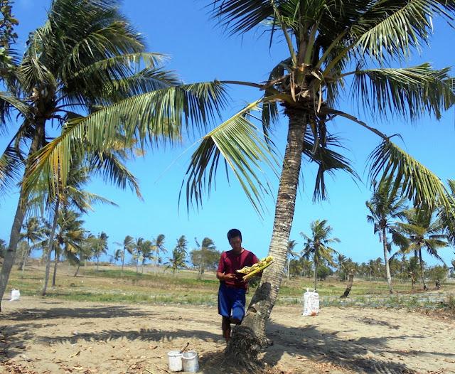 Hama Bambung Serang Perkebunan Kelapa di Kebumen