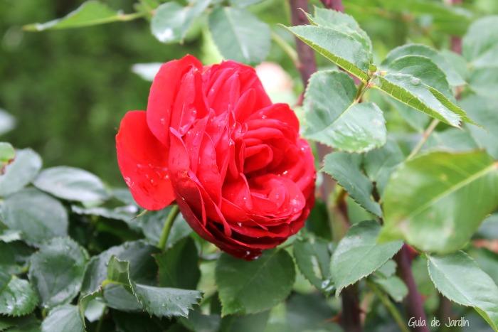 Rosa Acropolis