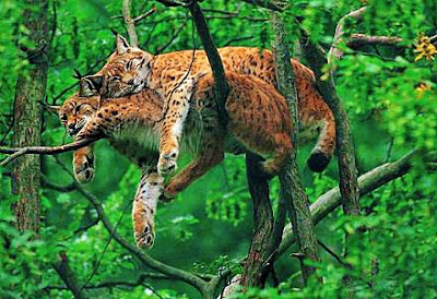 Big Cats & Their Love Nest (Something Interesting)