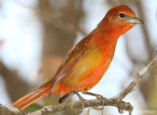 Highland Hepatic Tanager