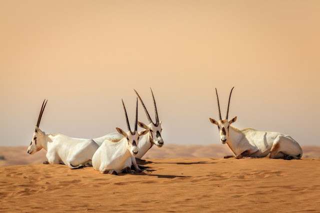 How the Arabian oryx was brought back from extinction