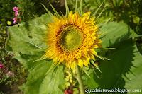 Słonecznik zwyczajny 'Teddy Bear'- Helianthus annuus 'Teddy Bear'