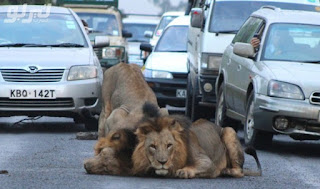 News: Five lions escape from sanctuary, govt warns public