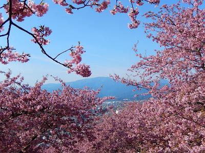 松田山のカワヅザクラ