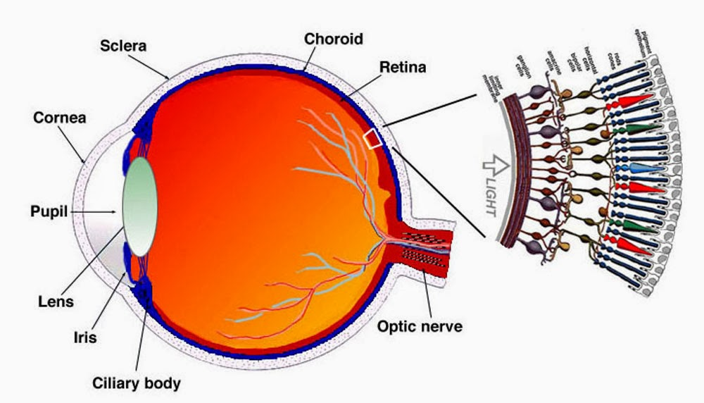 Human eye how the eye works and what are rods and cones ency123 human eye ccuart Choice Image