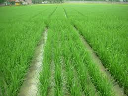 Usaha Pertanian di Desa Galagah Kecamatan Sungai Tabukan