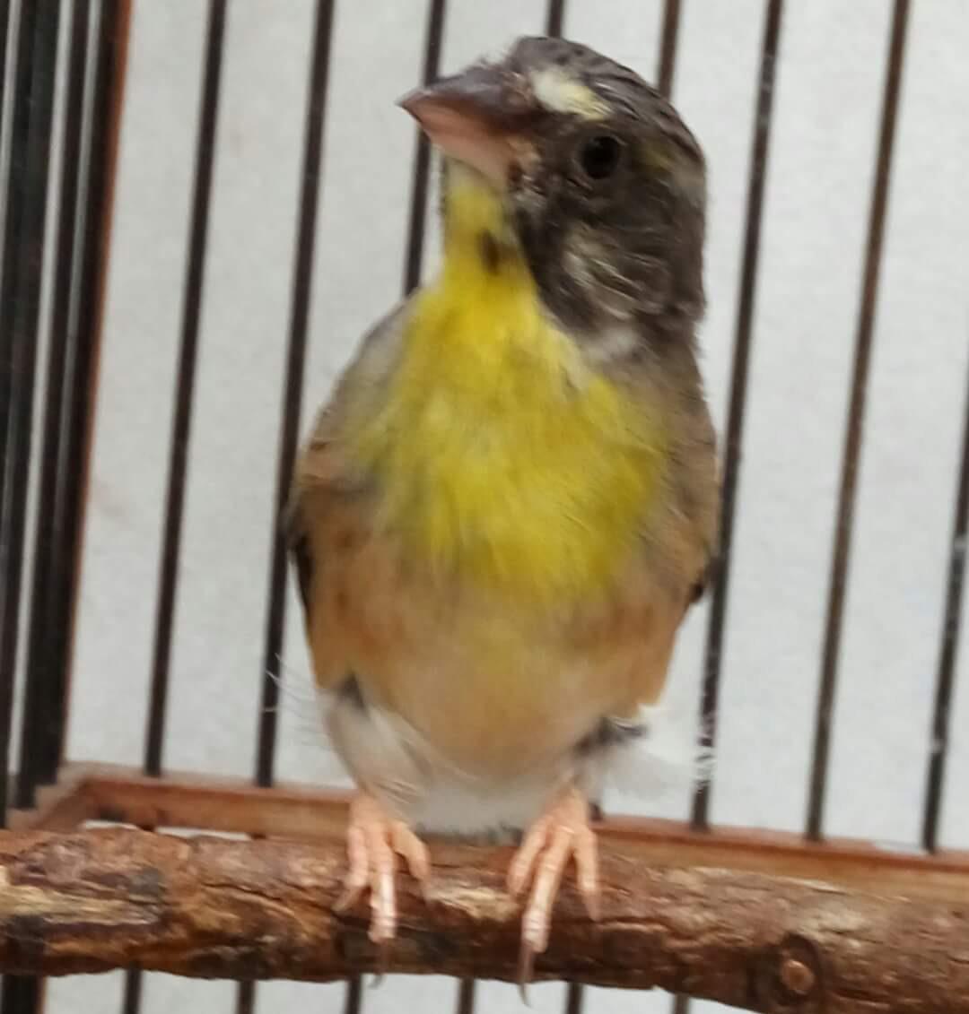 Pesona Lemon Finch Kenari Dada Kuning Gaco Gacor