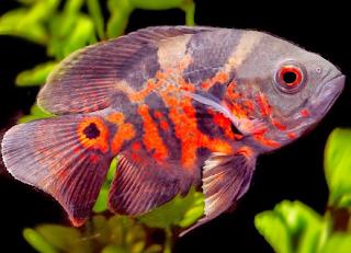Ikan oscar ialah salah satu jenis ikan hias yang banyak digemari oleh kalangan hobiis Kabar Terbaru- BUDIDAYA IKAN OSCAR