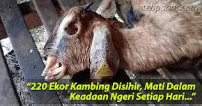 Thumbnail image for (Gambar) 220 Ekor Kambing Disihir, Mati Dalam Keadaan Ngeri Setiap Hari