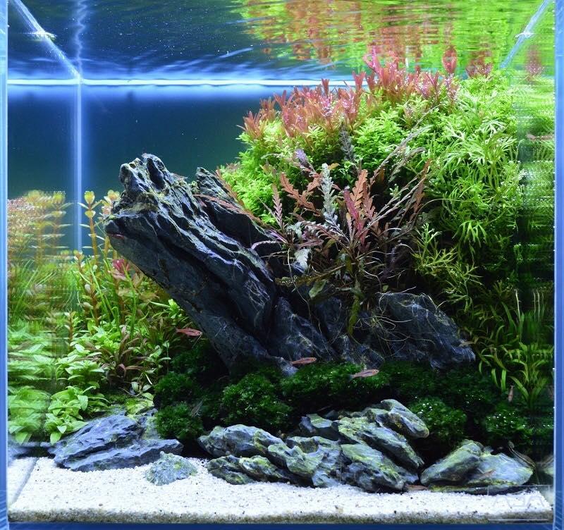Bố cục thủy sinh - Bể thủy sinh cubic với khá nhiều cây thủy sinh bên trong
