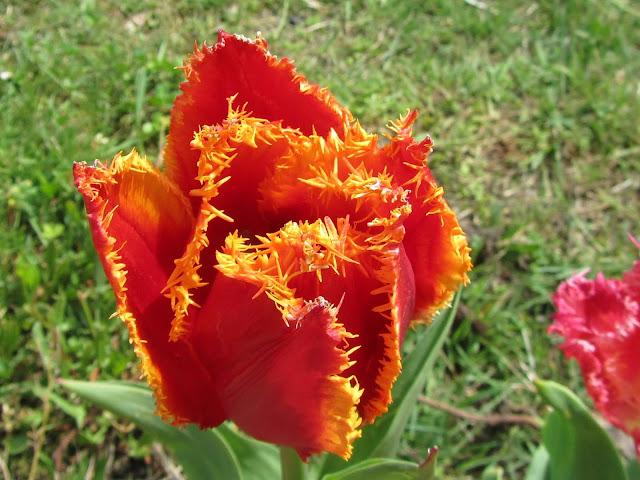Tulipano Rosso a Petali Frastagliati