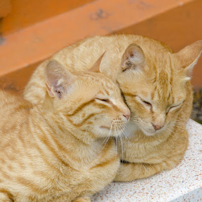 Two ginger cats cuddle together