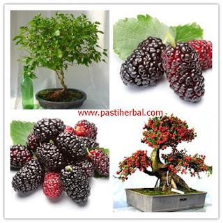 http://sehattitumahal.blogspot.com/2016/08/buah-mulberry-untuk-menguruskan-badan.html